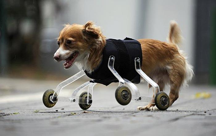 handicapped-dog-2