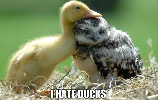 owl-hates-ducks
