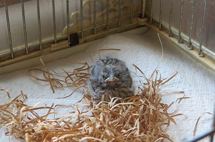 raising-baby-songbird-10