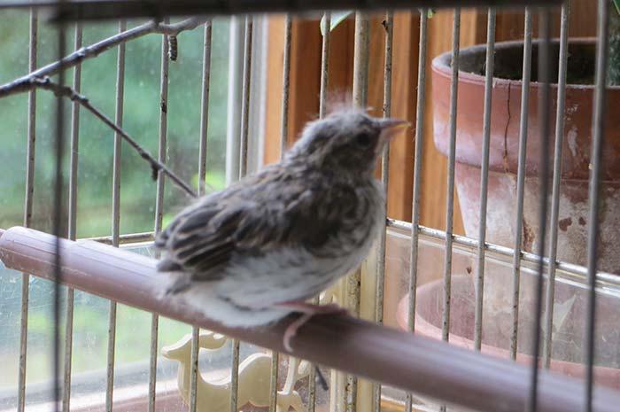 raising-baby-songbird-11