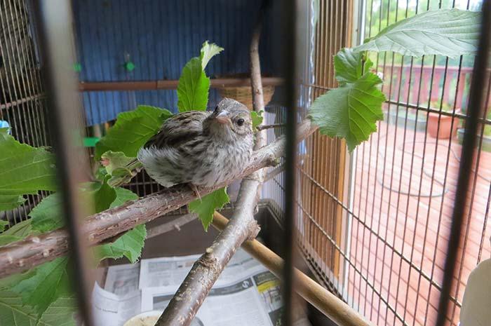 raising-baby-songbird-15
