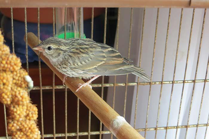 raising-baby-songbird-17
