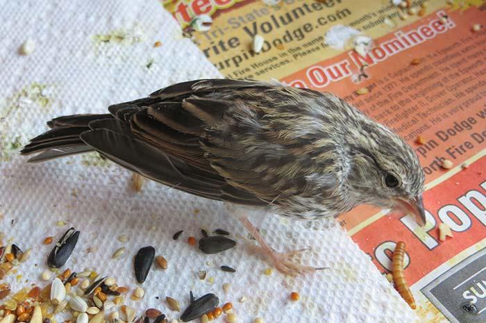 raising-baby-songbird-18