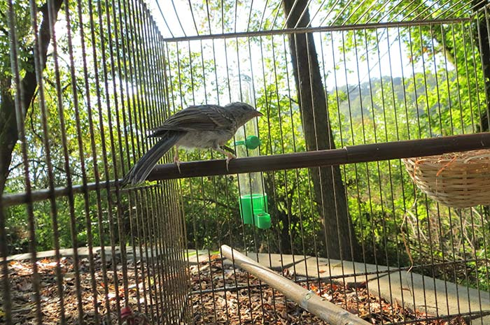 raising-baby-songbird-19