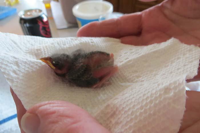 raising-baby-songbird-5