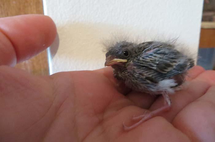 raising-baby-songbird-7