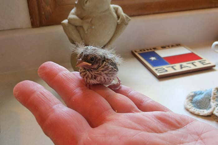 raising-baby-songbird-9