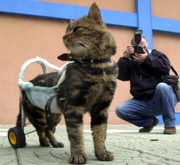handicapped-cat