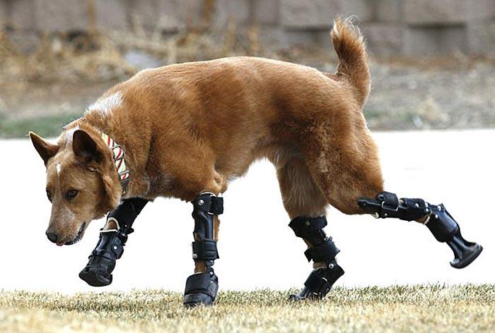handicapped-dog-4