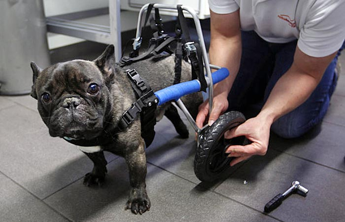 handicapped-dog-6