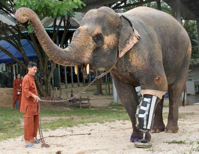 handicapped-elephant