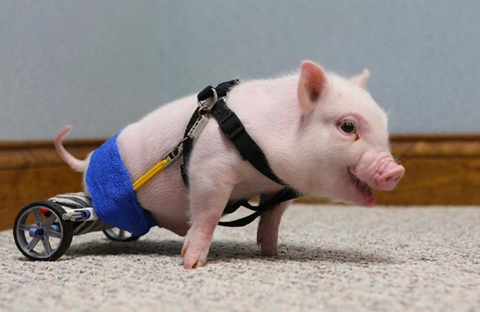 handicapped-piggy