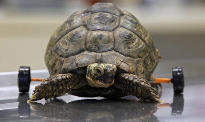 handicapped-turtle