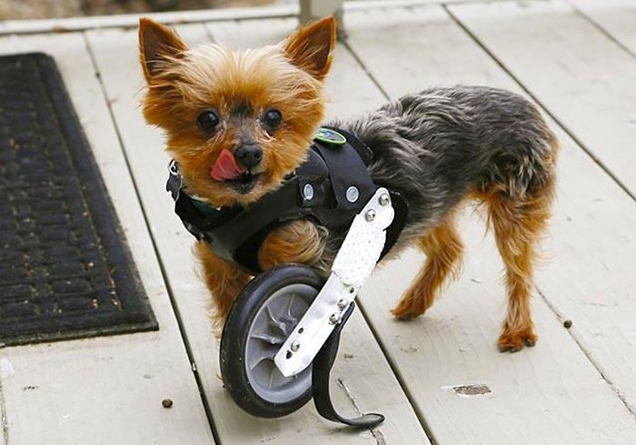 handicapped-yorkshire-terrier